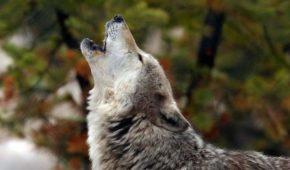 К чему воет собака: толкование приметы и объяснение кинологов