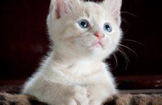 Вещий сон про кошку